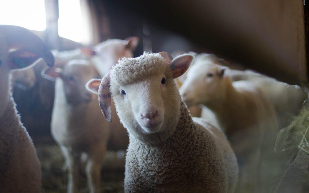 L'ovella i el llop                                        4.5/5(6)
